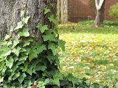 pic of english ivy  - Tree with ivy in the foreground with grass in background - JPG