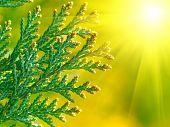 American Arborvitae,  Macro With Sun.