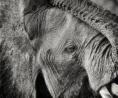 Monochrome detail of elephant face,  Maasai Mara, Kenya