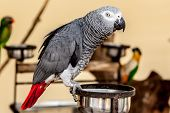Gray Macaw With Red Tail On Bowl