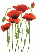 Red Poppy Flowers, Vector Illustration