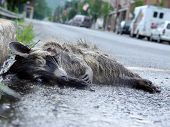 Full Body Raccoon Road Kill