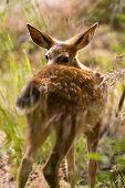 Blacktail Fawn Deer