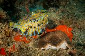 foto of cheeky  - Encountered this cheeky boxfish at a dive site at Guinjata Bay in Mozambique - JPG
