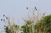 Black Vultures And Crows In The Uninhabited Island