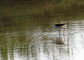 Black-winged Stilt With Long Tapered Legs Walking In The Pond In Search Of Food