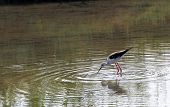 Black-winged Stilt Bird With Long Legs Walking In The Pond  5