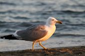 White Seagull On The Shore Of The Beach In Search Of Leftover Food From Tourists