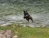 stock photo of blue heeler  - Dog jumping into a lake to fetch a ball - JPG