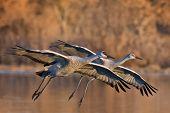 Sandhill Cranes Pair
