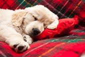 Sleeping Puppy On Plaid