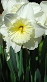 Daffodil Narcissus White Yellow Flower