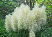 foto of pampas grass  - Cortaderia selloana pumila silver yellow plant pampas grass foliage - JPG
