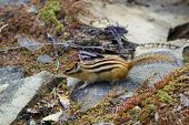 Chipmunk On The Rocks