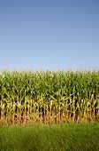 pic of corn stalk  - Cornfield and corn stalks shortly before maturity and harvest in an Illinois field - JPG