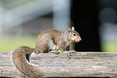 Eastern Gray Squirrel On A Post
