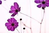 image of cosmos flowers  - Cosmos flowers purple in summer . .