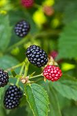 Fresh Blackberries On A Bush