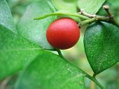 Red Orange Jessamine Fruit
