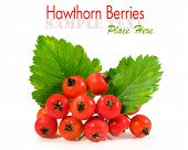Hawthorn Berries Over White