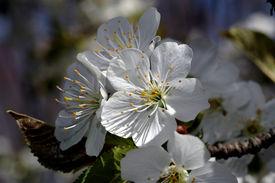 stock photo of stomata  - apple tree flower blossoms macro - JPG
