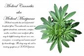 A Genuine Medical Marijuana Plant. Marijuana AKA Pot, Dope, Mary Jane, Splif, Joint,Ganja, Weed, 420