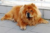 stock photo of chow  - Chow chow dog living in the Vilnius city - JPG