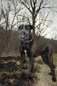 Cane Corso With A Dog Muzzles