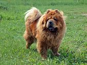 Brown Friendly Chow-chow Dog