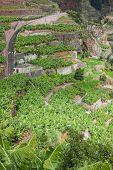 Banana plantations in camara de lobos Madeira island Portuga