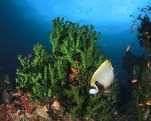 foto of angelfish  - Emperor Angelfish on coral reef in ocean - JPG