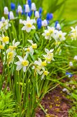 Dwarf narcissi  Jack Snipes is an extra early variety of narcissus.