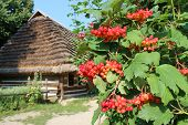 Bush of clustered red guelder-rose besides an old rural house