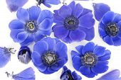 picture of windflowers  - Blue windflowers in a bed of buttermilk - JPG
