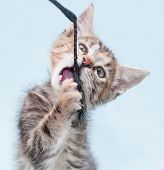 Beautiful Tricolor Kitten Chewing Toy Fishing Pole