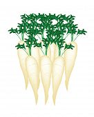 Stack Of Daikon Radish On White Background