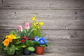 image of cultivation  - spring flowers in pots on wooden background - JPG