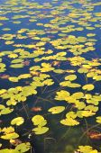 Lily Pads At Autumn
