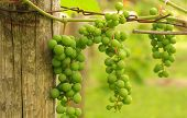 Green grapes on the vine