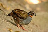 Rufous-throated Partridge