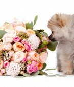 Pomeranian Puppy With Bouqet Of Flowers Isolated On White Background