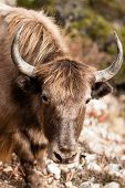 stock photo of yaks  - Yak portreit have taken on trekking path - JPG