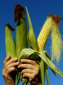 stock photo of corn-silk  - fresh harvested three corn ears in hands - JPG