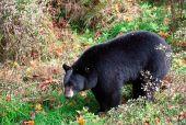 American Black Bear Walking Through Shrubs And Grass On A Fall Day
