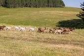 Goats On The Sunny Field