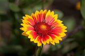 Yellow-red Flower Echinacea