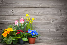 image of daffodils  - spring flowers in pots on wooden background - JPG