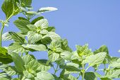 picture of nepeta  - Green lesser calamint plants under blue sky - JPG