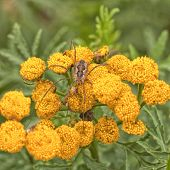 Daddy Longleg Spider on Tansy
