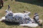 Happy brown and white Horse rolling on ground